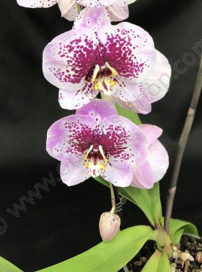 Phalaenopsis Moonlight 'Purple Shaper'