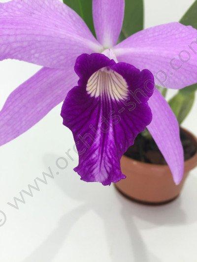 Laelia purpurata x L.sincorana