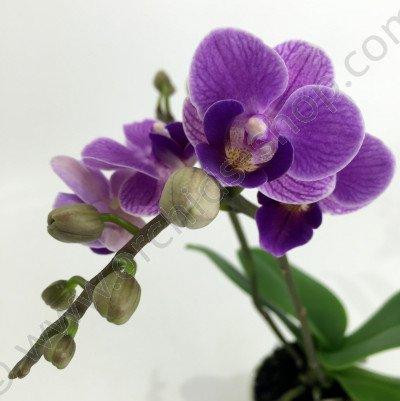 Doritaenopsis Sogo Vivien 'Special Blue' Big