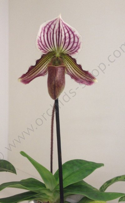 Paphiopedilum fairrieanum x purpuratum