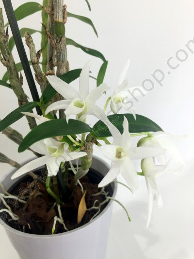 Dendrobium moniforme `Phyllis`HCC/AOS (Japan)