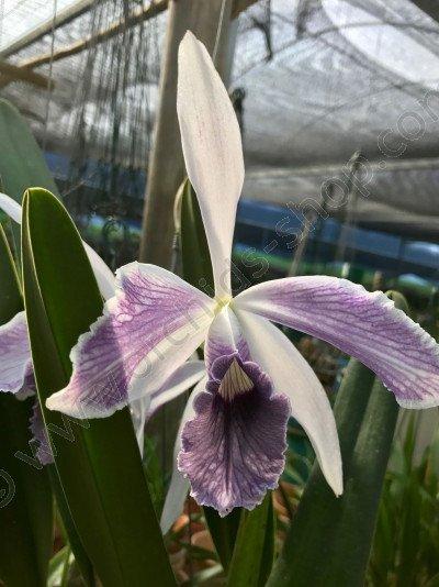 Laelia purpurata var. werkhauseri 'Striata'