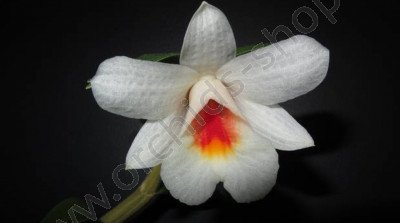 Dendrobium fuerstenbergianum