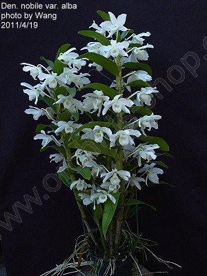 Dendrobium nobile var alba (virginalis)