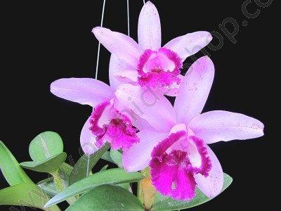 Cattleya intermedia var orlata `Rio`