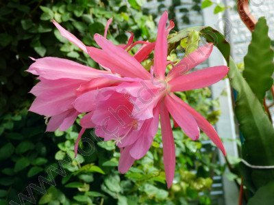 Epiphyllum cactus `Windy`Big