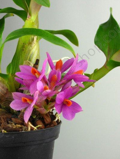 """Dendrobium Leavifolium """"Pink-Sensation"""""""