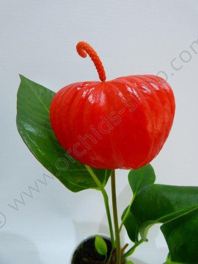 Anthurium floretti Red