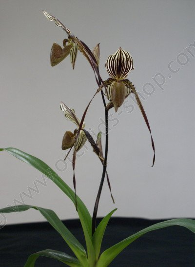 paphiopedilum Saint Swithin