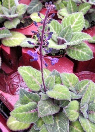 Plectranthus scaposus