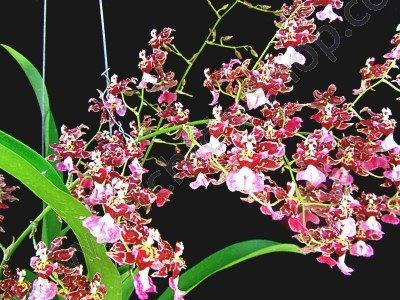 Oncidium Jairak Fragrance 'Pra-Lak'