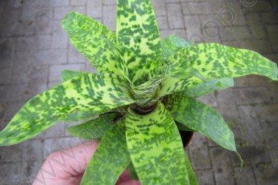 Vriesea Smudge Grub