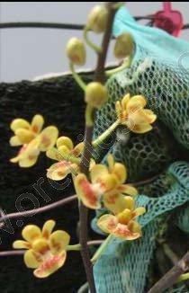 Phalaenopsis chibae 'Big'