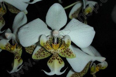 Phalaenopsis stuartiana punctatissima