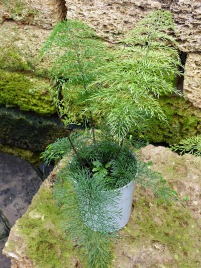 """Asplenium daucifolium """"Smal"""""""