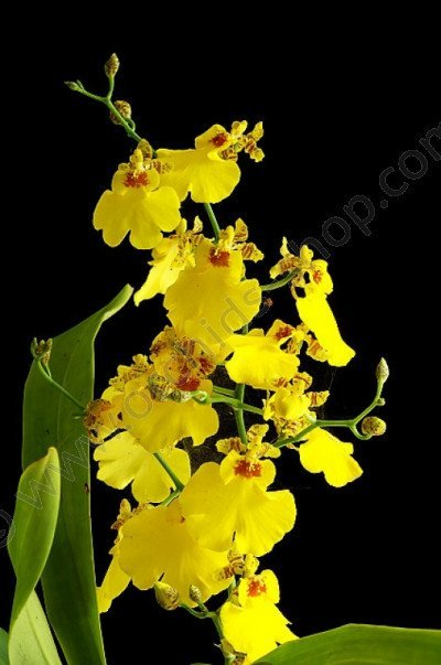 Oncidium Sweet Sugar (Harlekijnorchide)