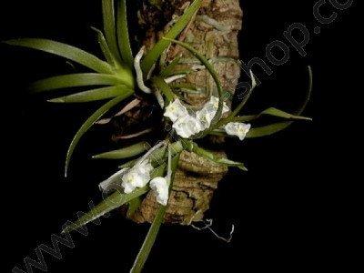 Podangis dactyloceras