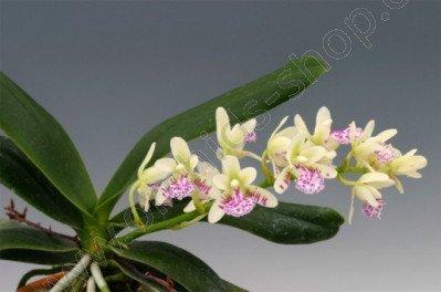 Sedirea japonica