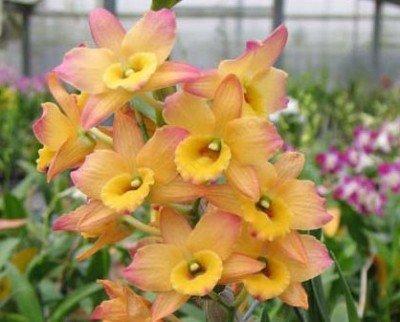 "Dendrobium Oriental Smile ""Fantasy"""