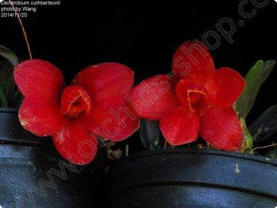 "Dendrobium cuthbersonii ""Red"""