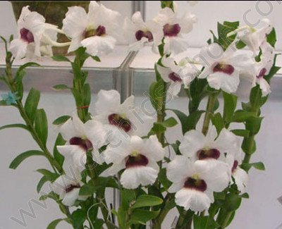 Dendrobium Thomas Wame