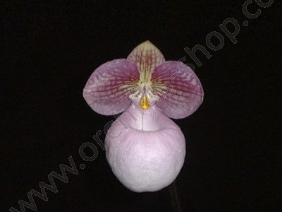 Paphiopedilum micranthum