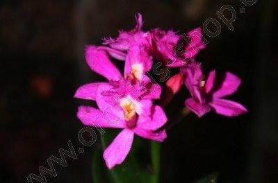 Epidendrum Ruge Magic
