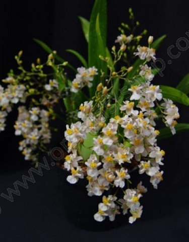 Oncidium Twinkle White