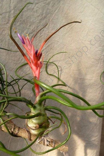 Tillandsia bulbosa (Kleine maat)