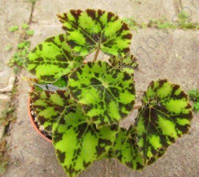 """Begonia bowerae """"Tiger"""""""