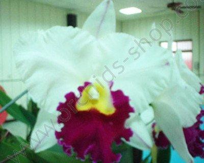 Lc. Chyyong Guu Swan ''Ruby Lip''