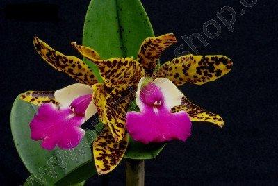 """Cattleya aclandiae """"Hybrid Special Selection 2"""""""