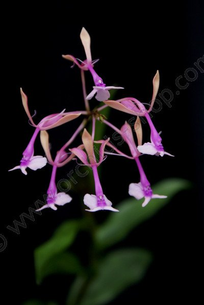 Epidendrum capricornu