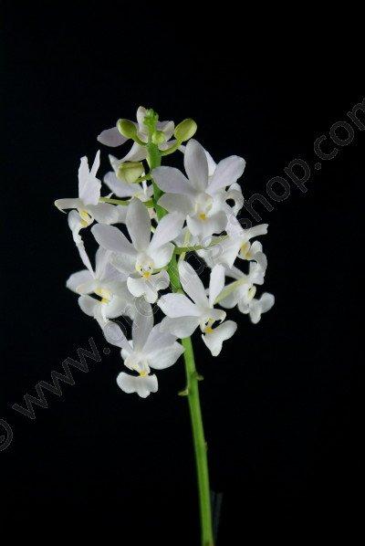 Doritis pulcherrima var. champornensis alba