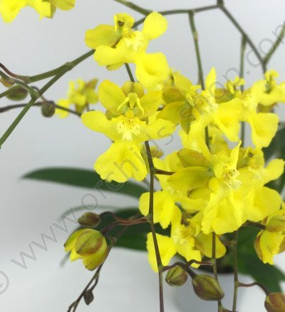 Oncidium Kukoo   (onustum x cheirophorum)
