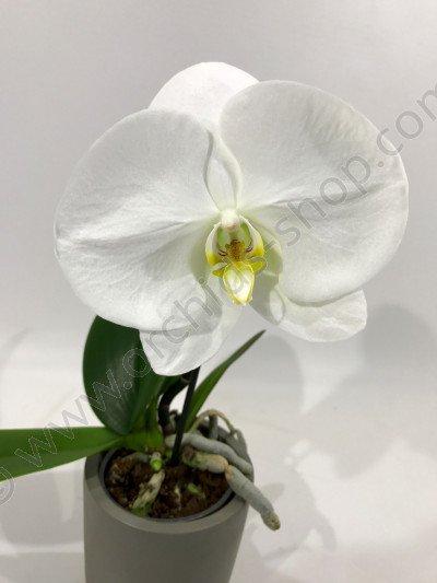 Phalaenopsis Big Singolo 'White'