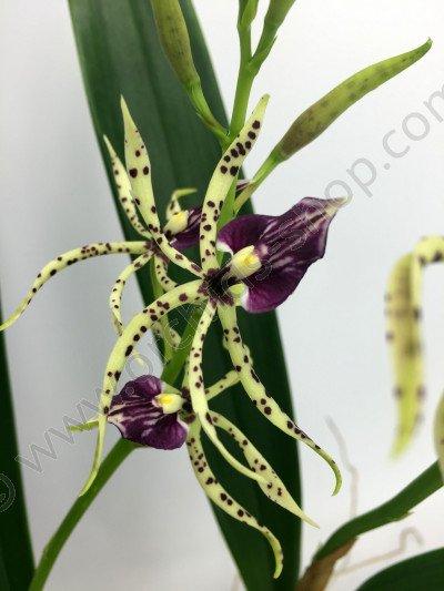 Encyclia cochleatum x Anacheilium sceptrum