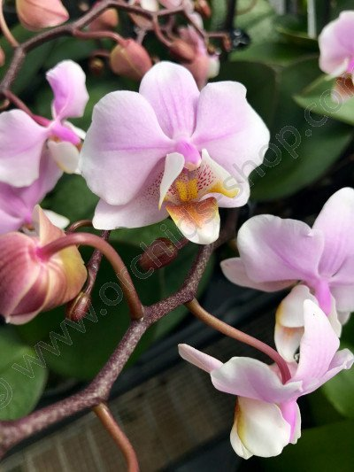 Phalaenopsis equestris x schilleriana