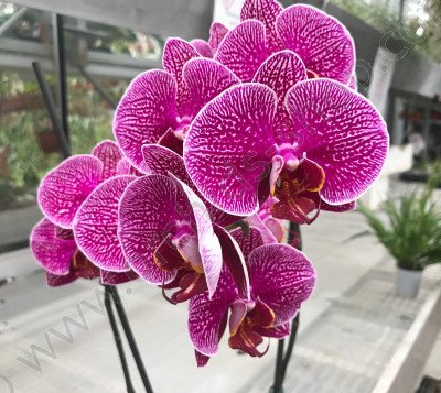 Phalaenopsis Leopard Prince 'Purpel ORCHIDS'