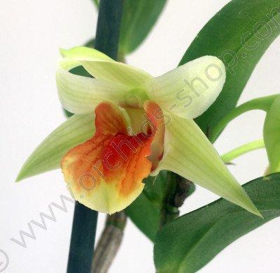 Dendrobium Hiroshi (D. cruentum x D. virginii)