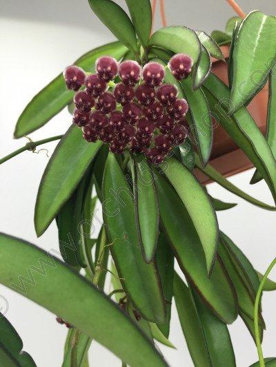 Hoya kentiana (wayetii)