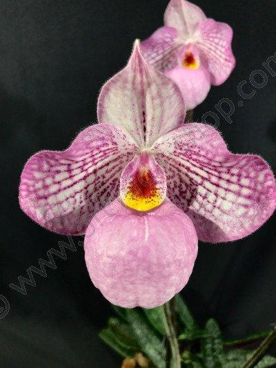 Paphiopedilum Magic Lantern Pink (P.delenatii Vinicolor x micranthum)