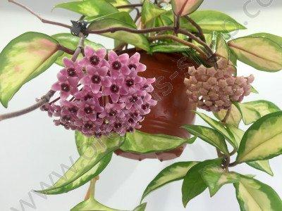 Hoya australis tricolor