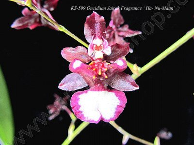 Oncidium Jairak Fragrance 'Hu-Nu-Maan'