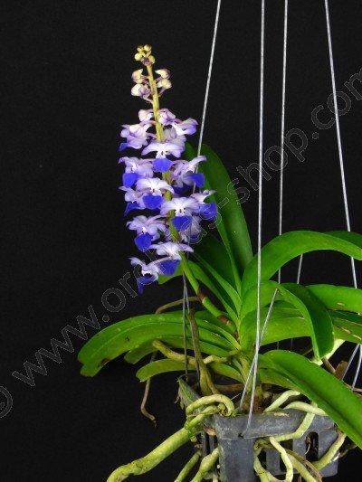 Rhynchostylis coelestis 'Blue'