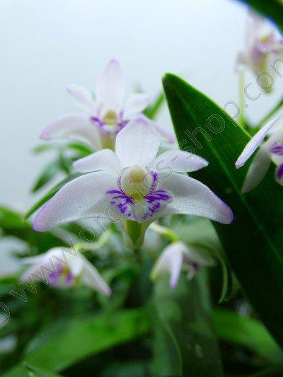 Dendrobium kingianum var. silcockii