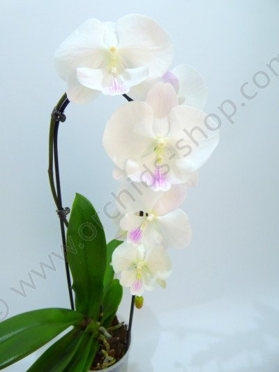 """Dtps. Yu Pin Fire """"Totale White/Cream Works"""""""