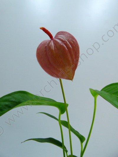 Anthurium Scherry Pink