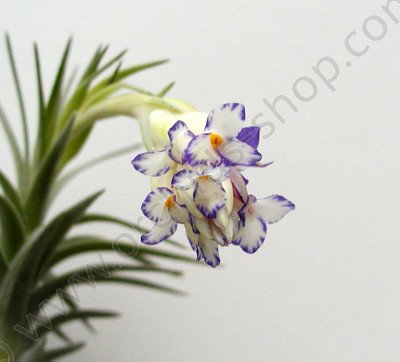 Tillandsia aeranthos 'semi alba'