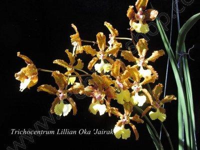 Oncidium Lillian Oka 'Jairak'